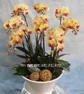 黃色系蘭花