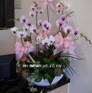 白色系蘭花