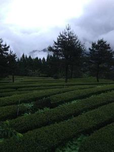 台灣茶製造過程